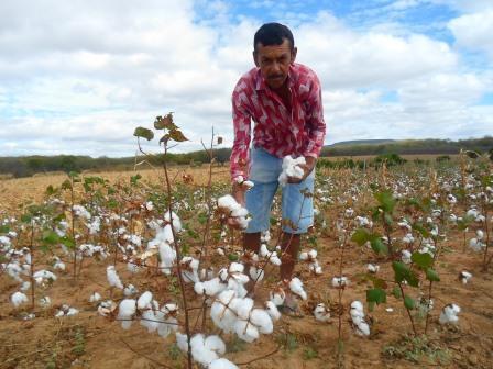 Agricultor Seu Francisco na colheita do algodão em sua propriedade.   Foto: Flavio Paiva/Arquivo Chapada