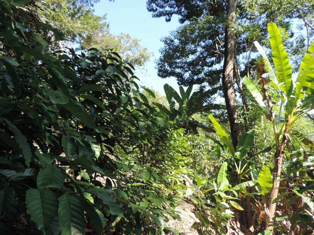 Clemilda e Anísio, agricultores da AFOJO/Guapimirim cultivam Café sombreado com árvores nativas da Mata Atlântica